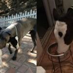 Goliath vitellino, vitellino che mangia croccantini, croccantini cani