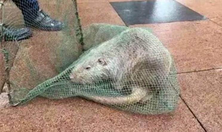 Terribile scoperta in cina topo di 10 kg trovato in universit urbanpost - Come catturare un topo in casa ...