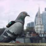 controllo inquinamento piccioni