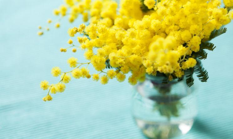 perché si regala la mimosa l'8 maggio