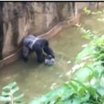 video gorilla ucciso in ohio