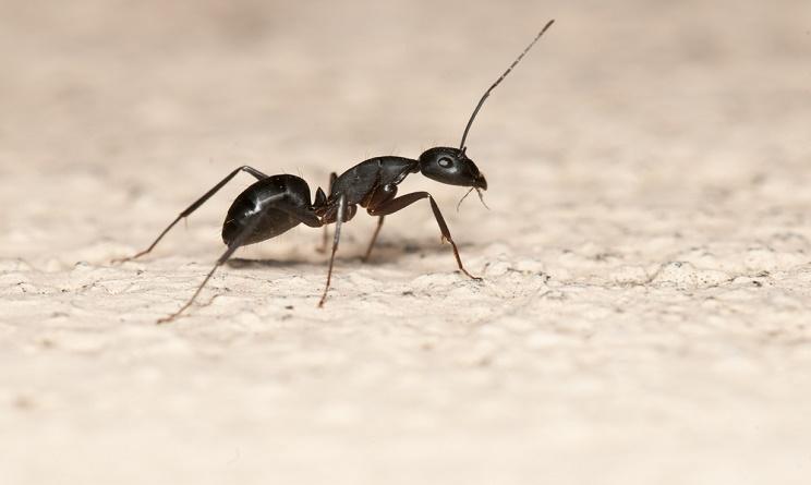 Formiche in casa cause e rimedi naturali per tenerle - Rimedi per le formiche in casa ...