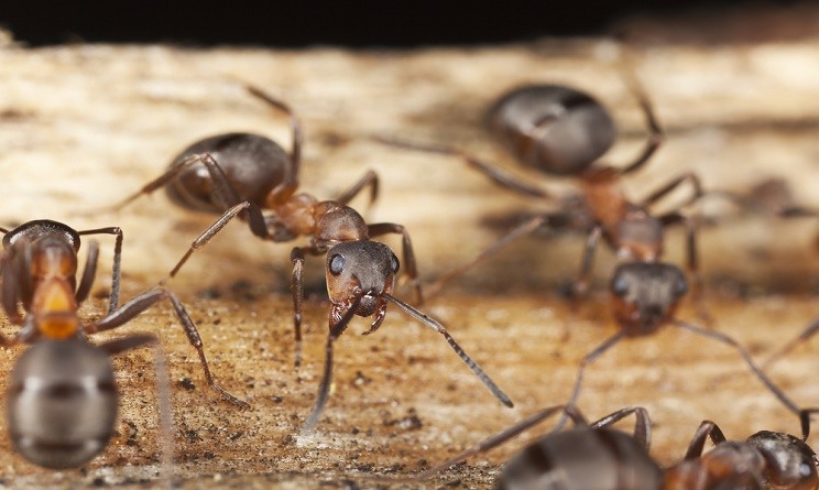 Formiche in casa come eliminarle dalla cucina urbanpost - Come debellare le formiche in casa ...