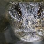 florida bimbo azzannato da alligatore