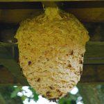 nido vespe, nido api, nido calabroni, nido vespe cosa fare, nido vespe chi chiamare, nido vespe in casa, nido api in casa, nido api come toglierlo,