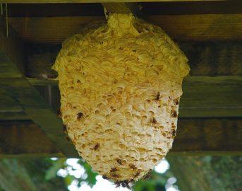 Api, vespe e calabroni: cosa fare e chi chiamare per rimuovere il nido