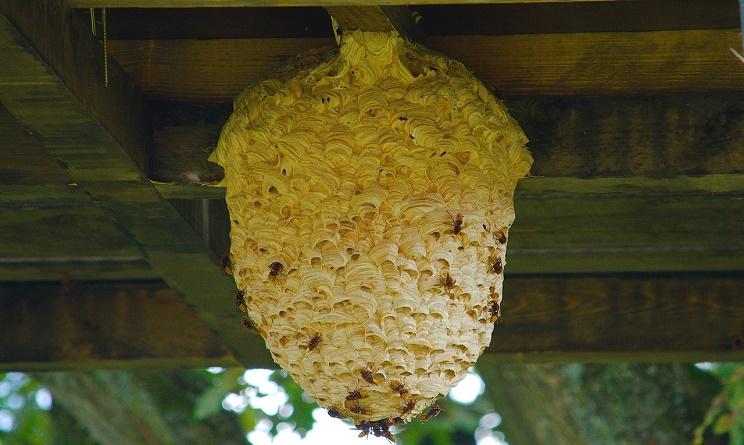 api, vespe e calabroni: cosa fare e chi chiamare per rimuovere il