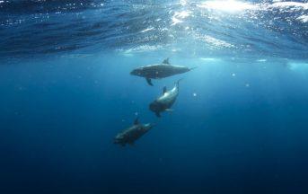 """Registrata la prima conversazione tra delfini: """"Il loro linguaggio è simile a quello umano"""""""