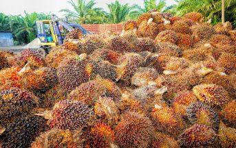 Olio di palma fa male o bene? Coop lo elimina dai suoi prodotti