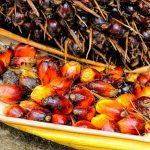olio di palma sostenibile e segregato, olio di palma sostenibile, olio di palma segregato, olio di palma cos'è, olio di palma chi lo utilizza,