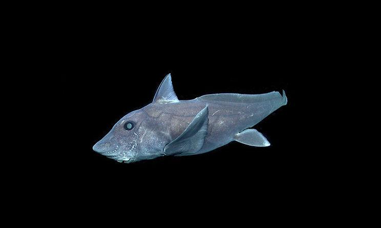 squalo fantasma
