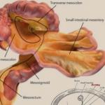 mesentere nuovo organo umano