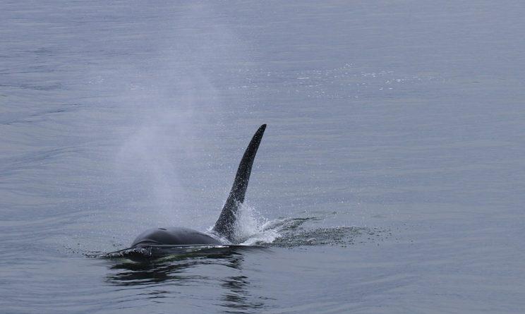 Nuova Zelanda, spiaggiate 400 balene, volontari al lavoro