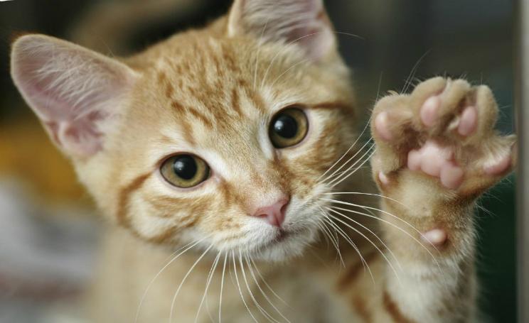 Gatti e psicosi, la scienza smentisce il legame