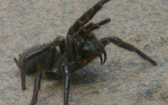 Ictus: la cura arriva dal veleno del ragno più pericoloso al mondo