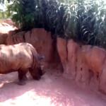 parigi rinoceronte ucciso allo zoo