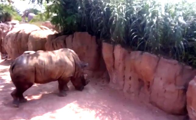 Parigi rinoceronte ucciso allo zoo: ladri in azione gli rubano il corno
