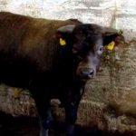 toro ucciso castelfranco veneto