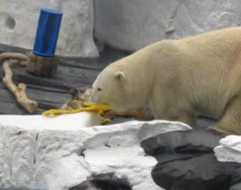Zoo di San Diego, orso polare perde la compagna e va in depressione: la sua morte commuove tutti (VIDEO)