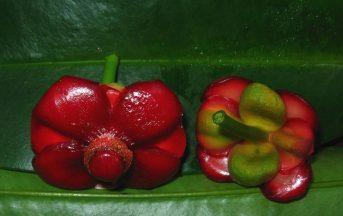 Garcinia Cambogia: metodo per dimagrire, ma sarà vero?