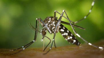 chikungunya ultime news