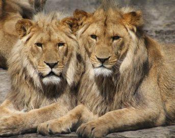 Argentina, animali drogati per selfie con visitatori: orrore allo zoo (FOTO)