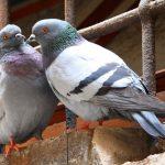 tallio escrementi piccioni