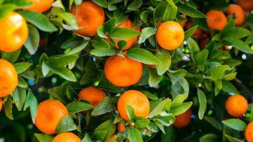 arance macchia nera