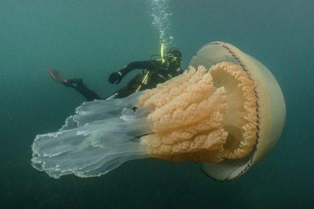 Avvistata una medusa a grandezza umana nell'Oceano Atlantico, le immagini incredibili