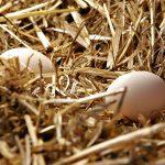 uova contaminate