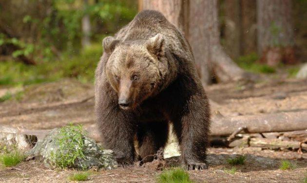 Trentino orso