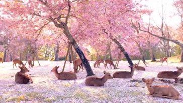giappone cervi sika fiori