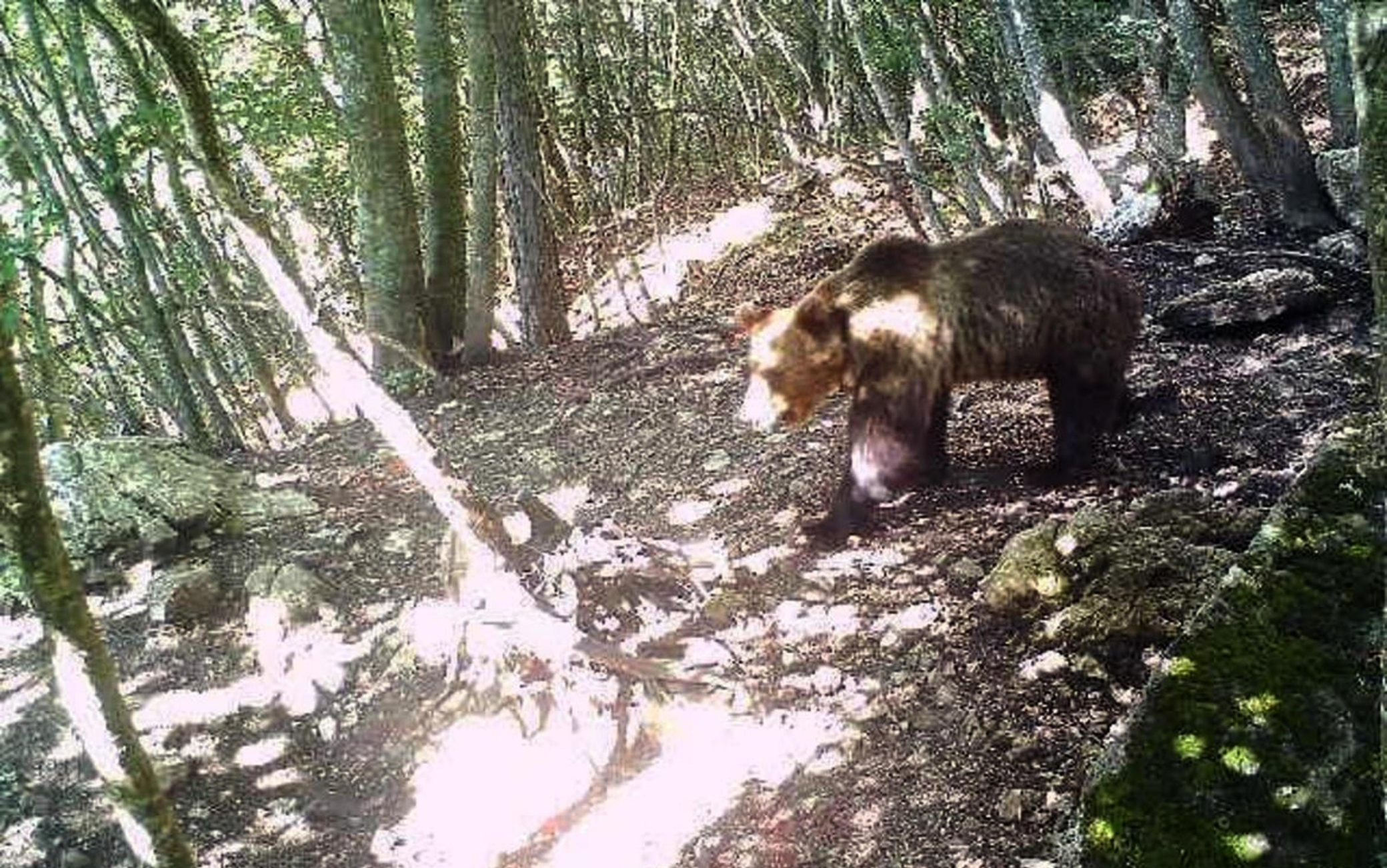 trentino orso catturato m49