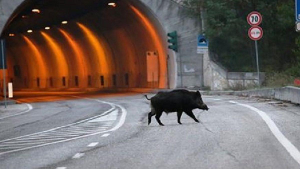 Novara, tragico incidente stradale nell'autostrada A26: auto investe cinghiali, morte due persone
