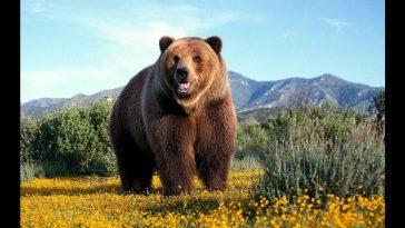 orso sbrana domatore