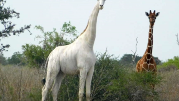 giraffa bianca kenya