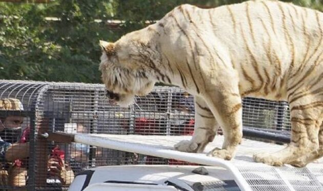21enne sbranata tigre