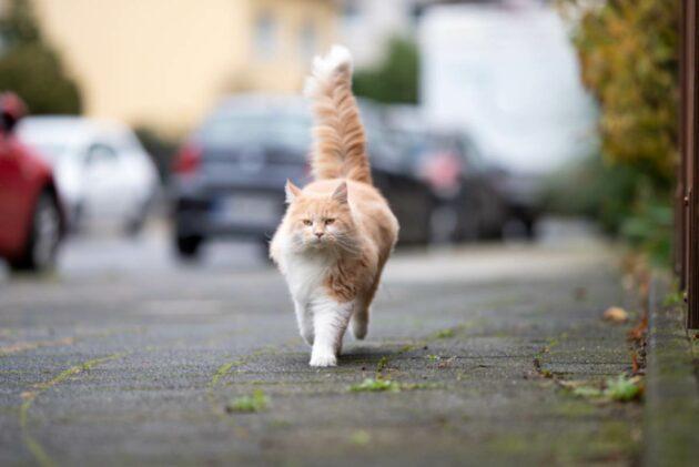 gatti lesignano