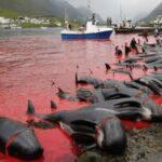 Isole Faroe mattanza