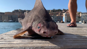pesce porco portoferraio