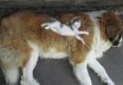 20 Gatti Che Dormono Beati Su Un Cane, Come Fosse Un Cuscino