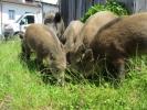 Cesira e i suoi cuccioli: i cinghiali che sembrano dei cani