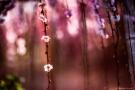 Fioritura dei ciliegi in Giappone: al via lo spettacolo dell'Hanami