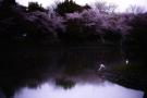 Fioritura dei ciliegi in Giappone: gli scatti scelti dal National Geographic